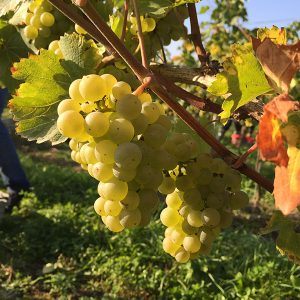 White grapes in vinyard