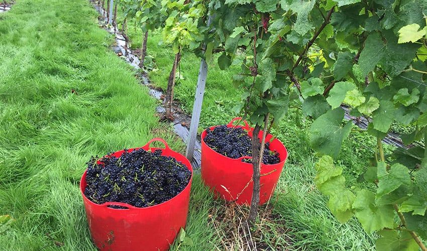Grapes picked and ready for winemaking