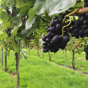 Red Grapes in Vinyard